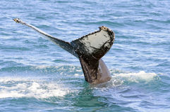 De staart van de gebocheldewalvis in Skjalfandi-baai Stock Foto