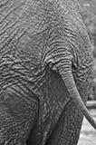 De staart van de olifant Stock Foto's