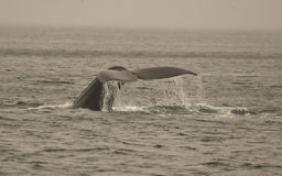 De Staart van de Walvis van de gebochelde Royalty-vrije Stock Foto's