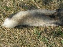 De staart van de wolf - Royalty-vrije Stock Foto's