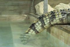 De staart van de zoutwaterkrokodil Royalty-vrije Stock Afbeelding