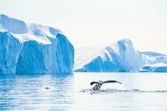 De staart van de gebocheldewalvis dichtbij de ijsbergen in Ilulissat icefjord, Groenland stock foto's