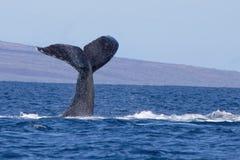 De Staart van de gebocheldewalvis in het Oceaanzeegezicht van Hawaï stock afbeeldingen