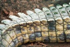 De staart van de krokodil royalty-vrije stock afbeeldingen