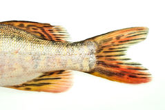 De staart van vissen, snoeken Stock Fotografie