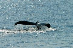 De Staart van walvissen Stock Foto's