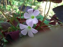 De staartbloem van de lavendelrat royalty-vrije stock foto