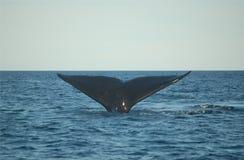 De staartduik van de walvis stock foto's