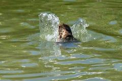 De staartveren als eend dompelt onder de waterspiegel op zoek naar voedsel onder royalty-vrije stock fotografie