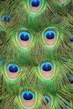 De staartveren van de pauw Stock Foto