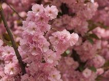 In de stad kwam de tuin verrukkelijke sakura tot bloei Stock Afbeeldingen