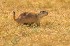 De Stad Theodore Roosevelt National Park van de Prairehond stock afbeeldingen