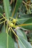De stad tuiniert - Ficus magnoliodes - een detail Royalty-vrije Stock Fotografie