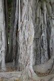 De stad tuiniert - Ficus magnoliodes - een detail Royalty-vrije Stock Afbeelding