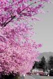 De Stad van de Lente Cherry Blossom On van Washington Covering With Bright Pink van de Dalingsstad een Warme Middag royalty-vrije stock foto's