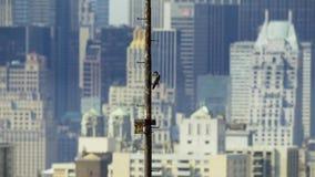 De Stad van New York heeft de hoogste dichtheid van nestelende wilde peregrine valk De V.S. stock foto