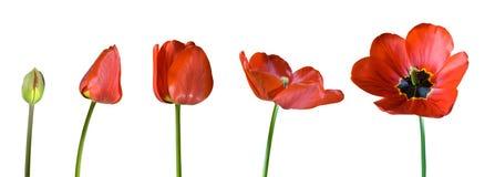 De stadia van de tulp stock afbeelding
