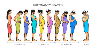 De Stadia van de vrouwenzwangerschap stock illustratie