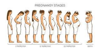 De Stadia van de vrouwenzwangerschap vector illustratie