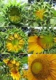 De stadia van de zonnebloemgroei Stock Foto