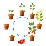 De stadia van de tomatenplantgroei stock illustratie