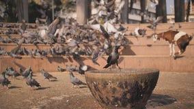 De stadsduiven en ??n kraai drinken water in het vierkant waar de duiven worden gevoed Slow-motion video in Mumbai-stad stock video
