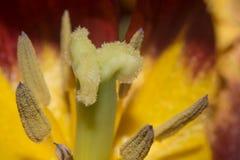 De stam van de tulpenbloem Stock Afbeelding