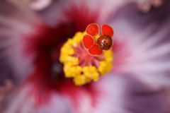 De Stamper van de hibiscusbloem met DameBug macro Royalty-vrije Stock Afbeeldingen