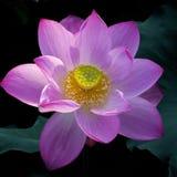 De stamper van Lotus Stock Afbeelding