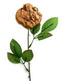 De stamwit van het koekje stock foto