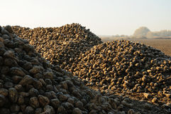 De stapel van de suikerbiet op gebied Stock Foto
