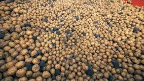 De stapel van vuile aardappels in een tractorcontainer, sluit omhoog stock video