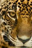 De starende blik van de luipaard Stock Foto