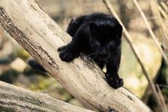 De starende zwarte welp van de amurluipaard op de boom Stock Foto