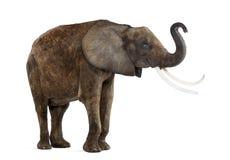 De status van Afrikaanse olifant die zijn geïsoleerde boomstam opheffen, royalty-vrije stock foto's