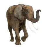 De status van Afrikaanse olifant die zijn geïsoleerde boomstam opheffen, stock afbeeldingen