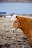 De status van bruin Ijslands paard die camera onder ogen zien Stock Afbeelding