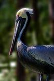 De Status van de pelikaan Stock Foto