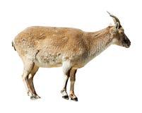 De status van de schapen van Barbarije over witte achtergrond Royalty-vrije Stock Afbeeldingen