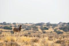 De status van de zebra van Burchell ` s in de weiden Royalty-vrije Stock Afbeeldingen