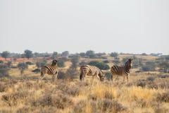 3 de status van de zebra van Burchell ` s in de weiden in de woestijn van Kalahari Stock Foto