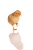 De status van het kuiken geïsoleerdn op wit royalty-vrije stock fotografie