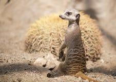De status van Meerkats Royalty-vrije Stock Foto