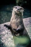 De status van Otter die zijn handen steunen royalty-vrije stock fotografie