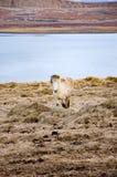 De status van wit Ijslands paard die camera onder ogen zien Royalty-vrije Stock Foto's