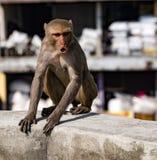 De stedelijke aap toont woede, terwijl het zitten op een muur Royalty-vrije Stock Afbeelding