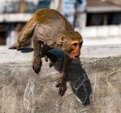 De stedelijke aap toont woede, terwijl het zitten op een muur Stock Afbeelding