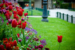 De stedelijke tuin van Tulipan Stock Foto
