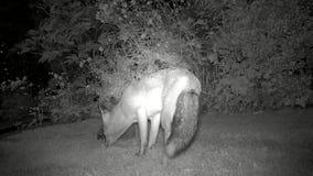 De stedelijke vos tuiniert binnenshuis bij nacht het voeden met Egel stock videobeelden