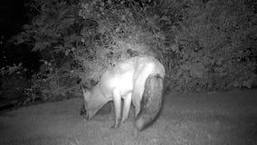 De stedelijke vos tuiniert binnenshuis bij nacht met Egel stock videobeelden
